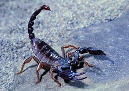 中华蝎王养殖加盟