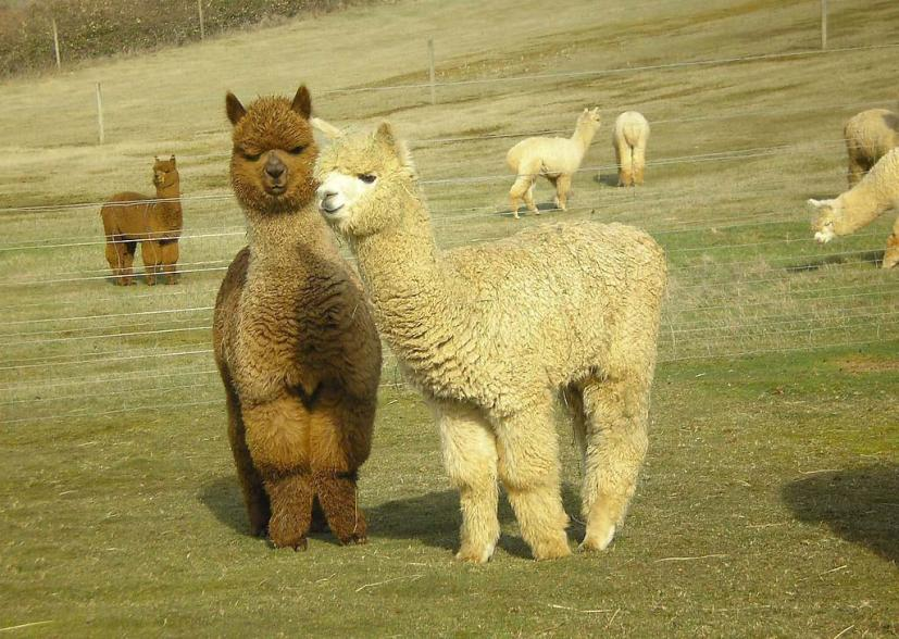 羊驼养殖加盟