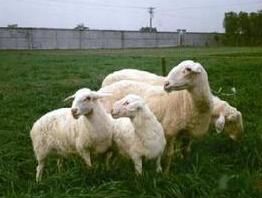 吕山湖羊加盟养殖