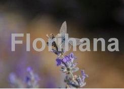 Florial精油