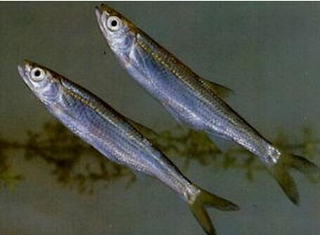 白条鱼养殖