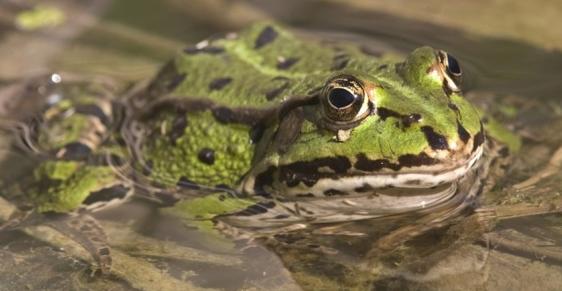 对于青蛙养殖的情景判断,就依据目前养殖范围的来判断是不准确的,任何一种养殖产业有现在可看见的养殖价值,同时还有有待我们发掘的部分。在一定程度上,青蛙的需求只在食用、试验上有所体现,而且试验用蛙大部分并不需要养殖户来提供,但是我们不能否认这个项目等发展前景。 在开发青蛙养殖市场时,可能需要考虑到是否能得到很大的市场,针对的销售渠道甚至是销售都需要进行开发,如果可以先创新出青蛙的一种消费方式,然后逐步的扩大这种商业需求,然后青蛙有了需求,养殖才有前景。在这个过程中,一条青蛙的销售链就形成了。