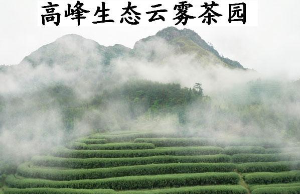 高山云雾茶