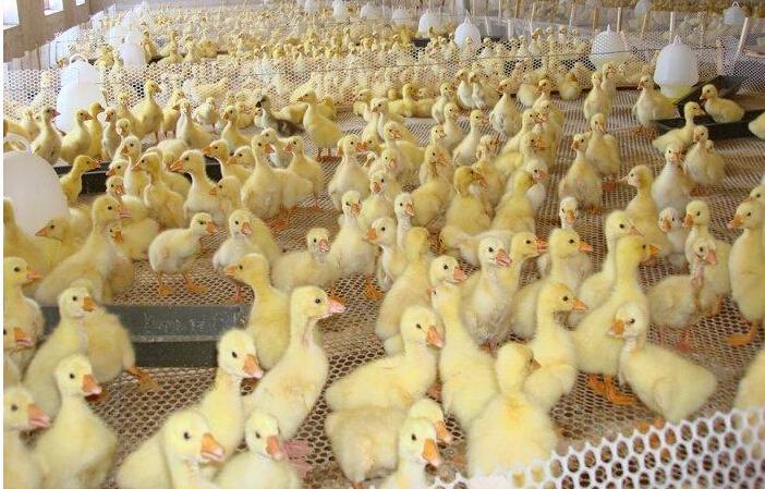 一亩大棚养鹅多少只?养鹅的利润如何?