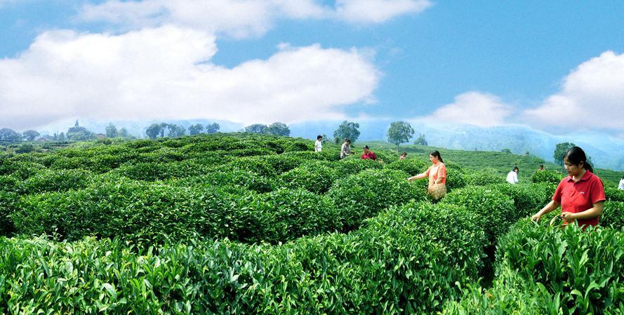 蓝峰茶业加盟