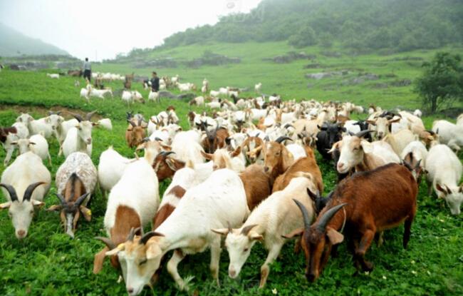 養50只羊的成本是多少
