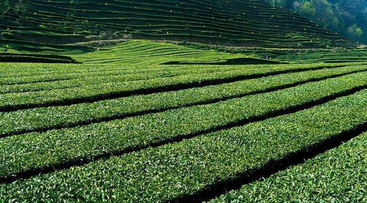 中茶茶叶加盟