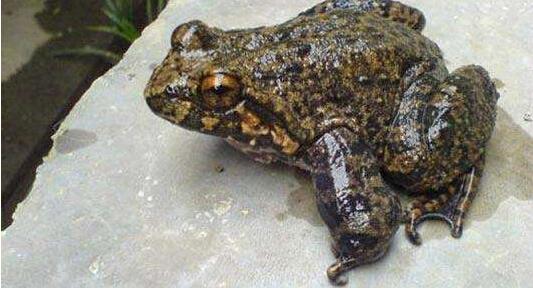 养殖石蛙的前景怎么样 石蛙养殖技术从哪学?