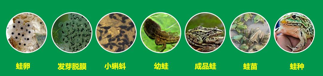 泰蛙杂交9号加盟