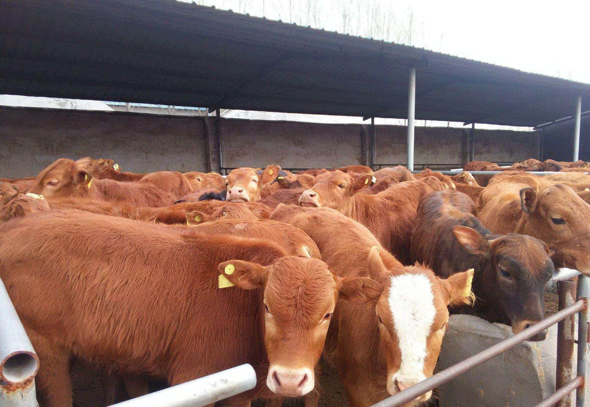 農村開辦個小型養牛場要花費多少錢?