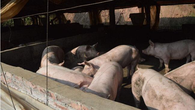 农村小型养猪场要投资多少钱