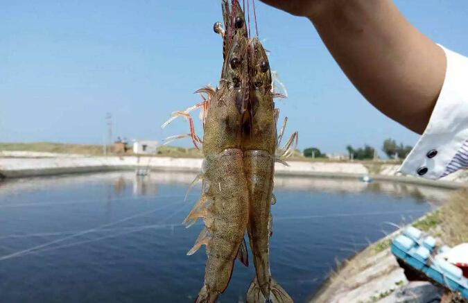 养殖南美白对虾