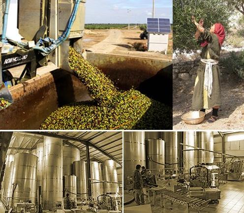 希腊橄榄油加工过程