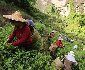 武夷山茶叶采摘