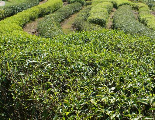 武夷山茶叶近景