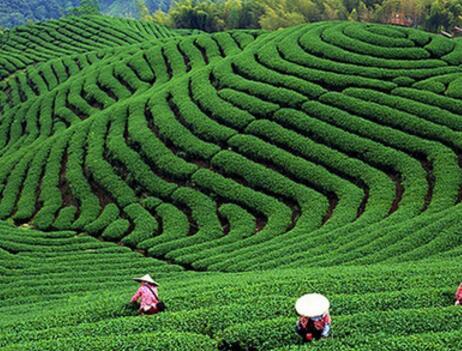 台湾茶叶茶园