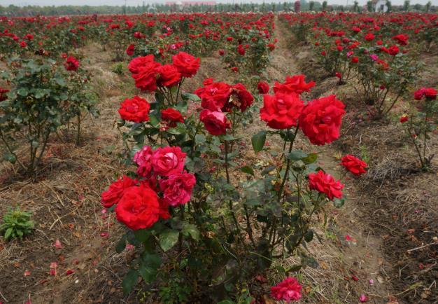 玫瑰花种植