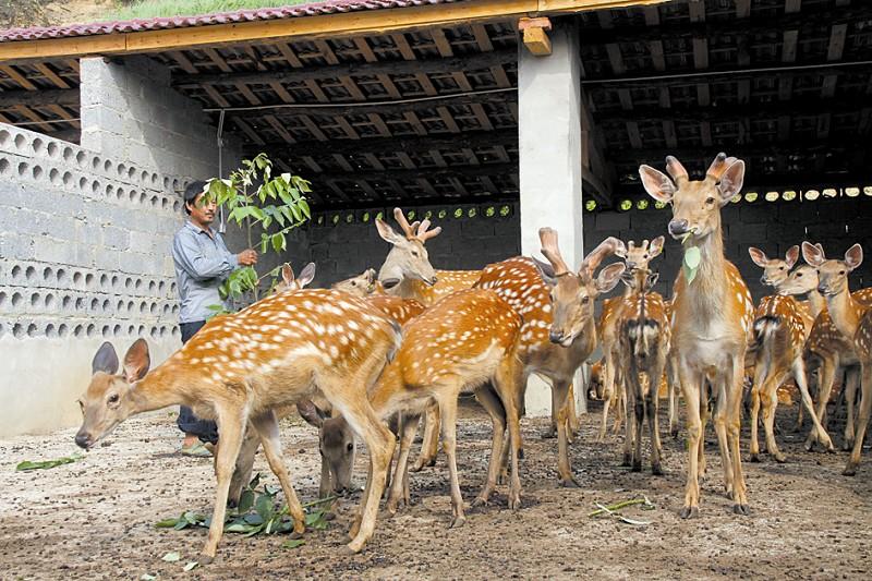 养殖梅花鹿
