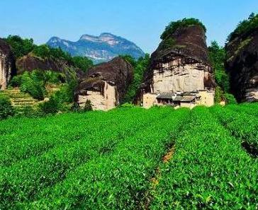 武夷山茶叶风景