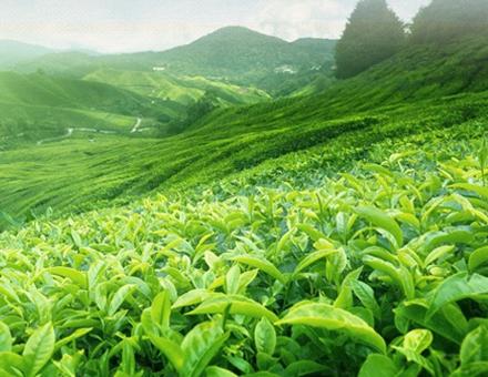 武夷山茶叶茶园