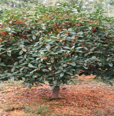 九州绿苑苗木交易平台茶树