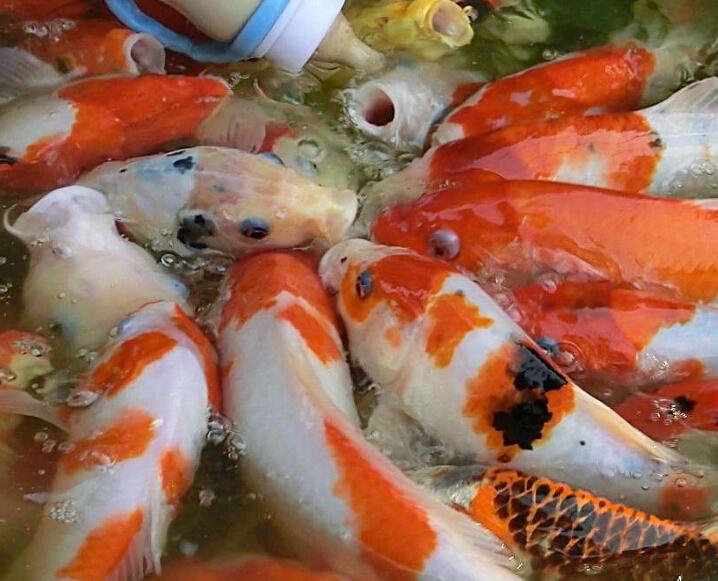 鱼你同乐吃奶鱼喂鱼场景