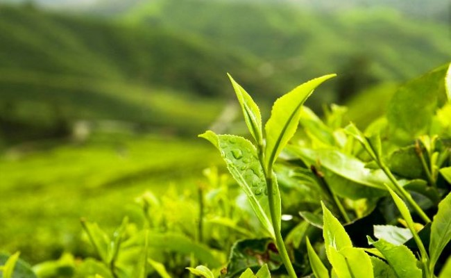 开茶叶店清新绿茶