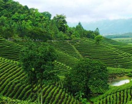 茗山国际茶业