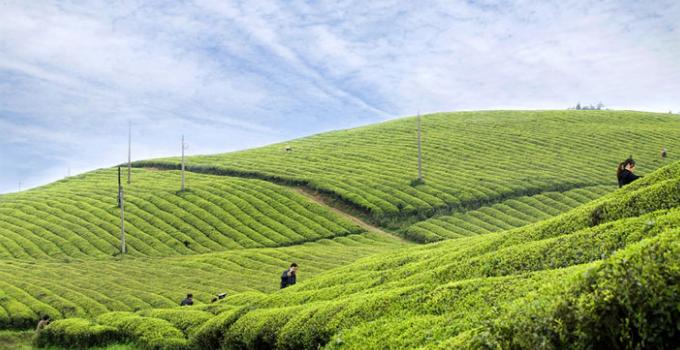 家乡好茶叶天然