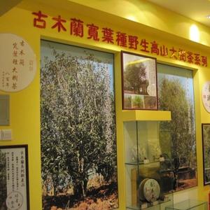 古木蘭寬葉種高山大樹茶
