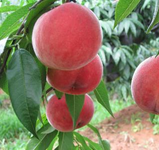 捌号水果桃子