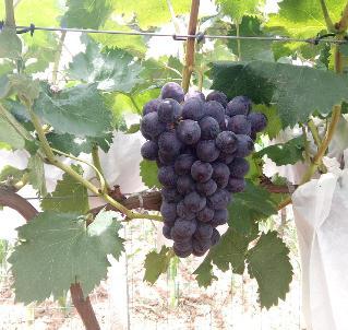 捌号水果葡萄