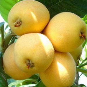 百果香水果枇杷