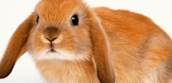 宠物兔垂耳兔