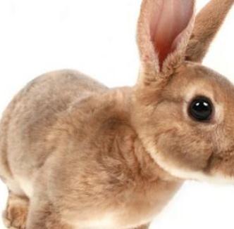 宠物兔棕色