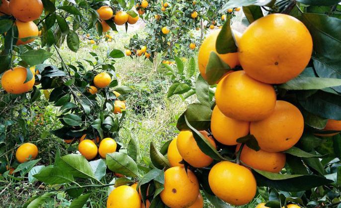 阿琼果园的鲜橘