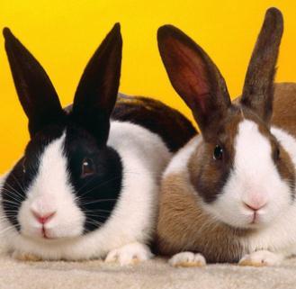 宠物兔两只