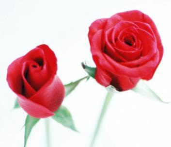 愛慕鮮花玫瑰花