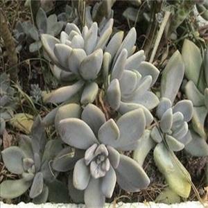 景天科多肉植物宝石花
