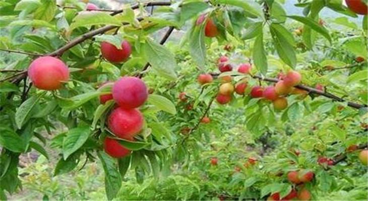 鲜丰果园樱桃