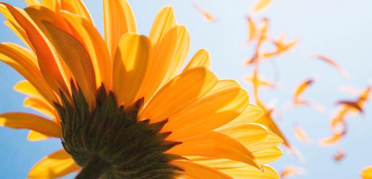 愛慕鮮花向日葵