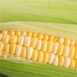 订购网鲜玉米