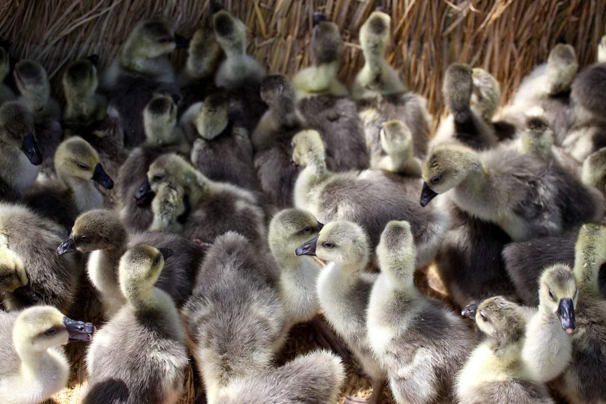 永兴养鹅场