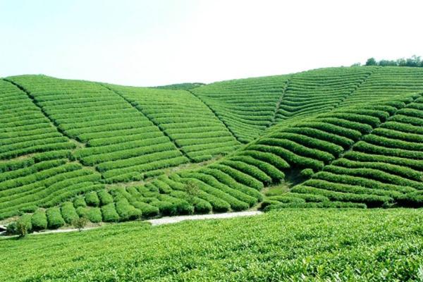 圣道茶业可口