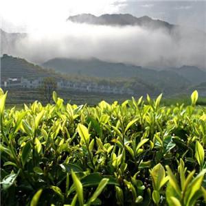 紫金山茶叶茶园