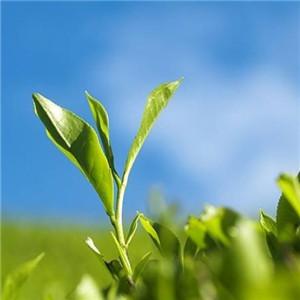 紫金山茶叶一片叶子