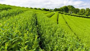 绿康茶叶的基地