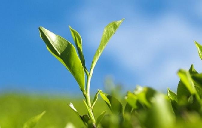 健康的绿康茶叶