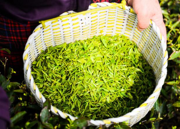 价格便宜的绿康茶叶