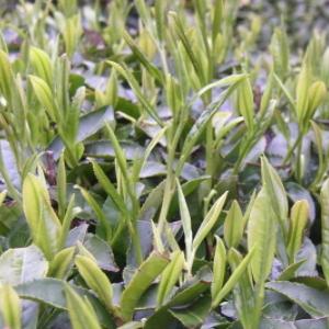 金壶春茶业营养